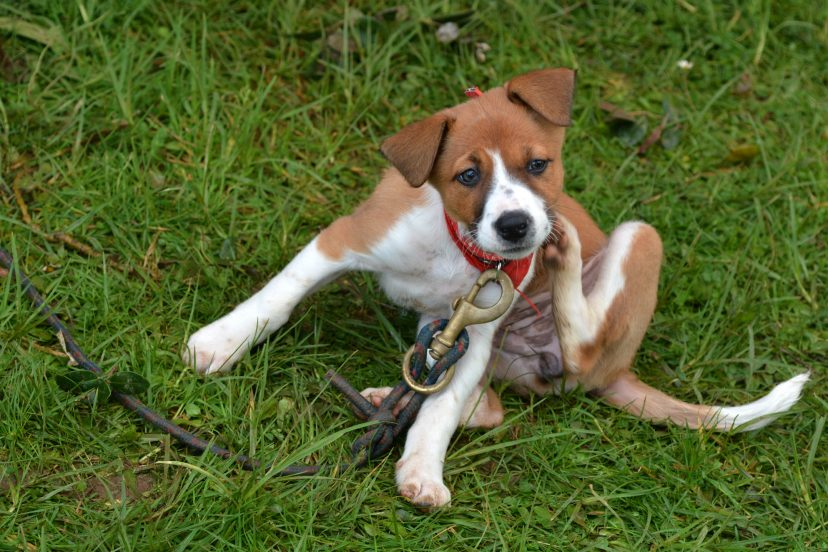 how to get rid of ticks and fleas in dogs