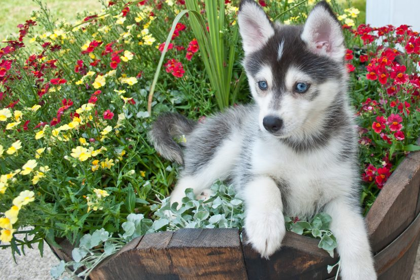 What Are Pomsky Puppies