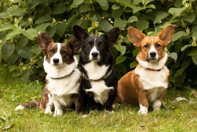 Are Corgis Good Apartment Dogs
