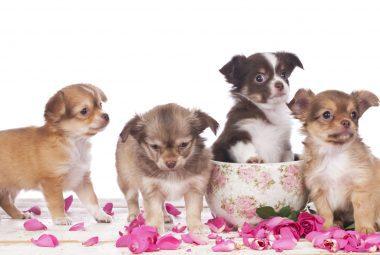 Teacup Chihuahua Lifespan